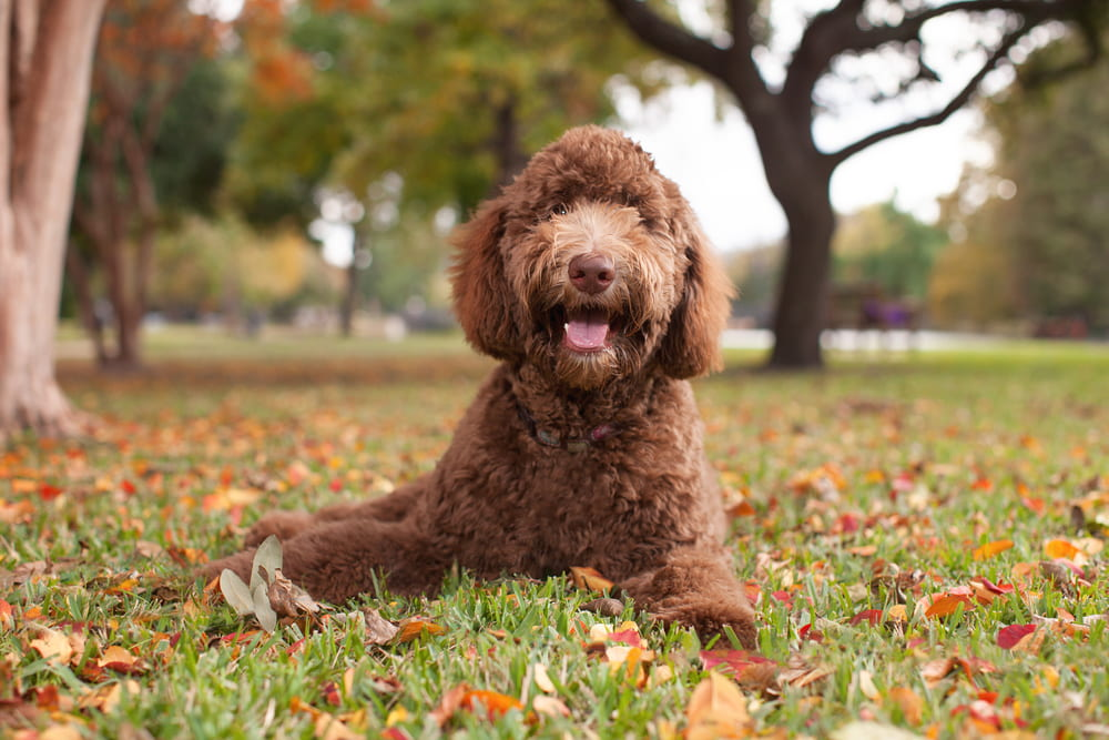 Chocolate Labradoodle in grass