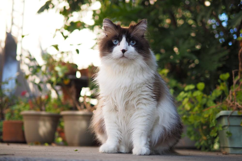 Outdoor Ragdoll cat