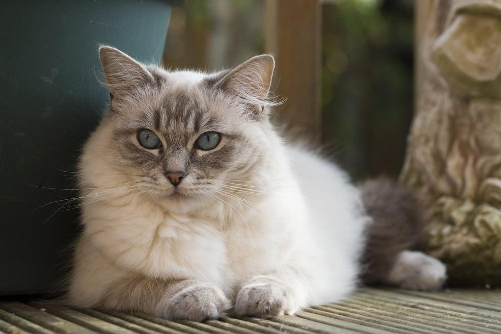 Ragdoll-cat-lying-down