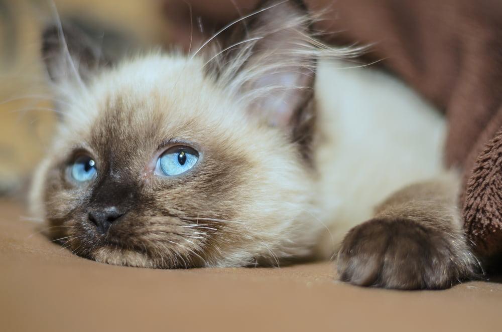 Resting Ragdoll kitten