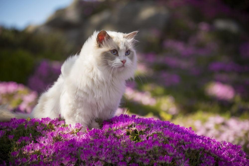 Ragdoll-cat-in-flower-field