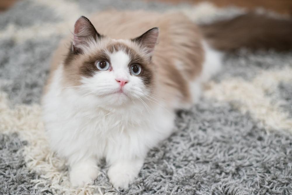 Sweet Ragdoll cat