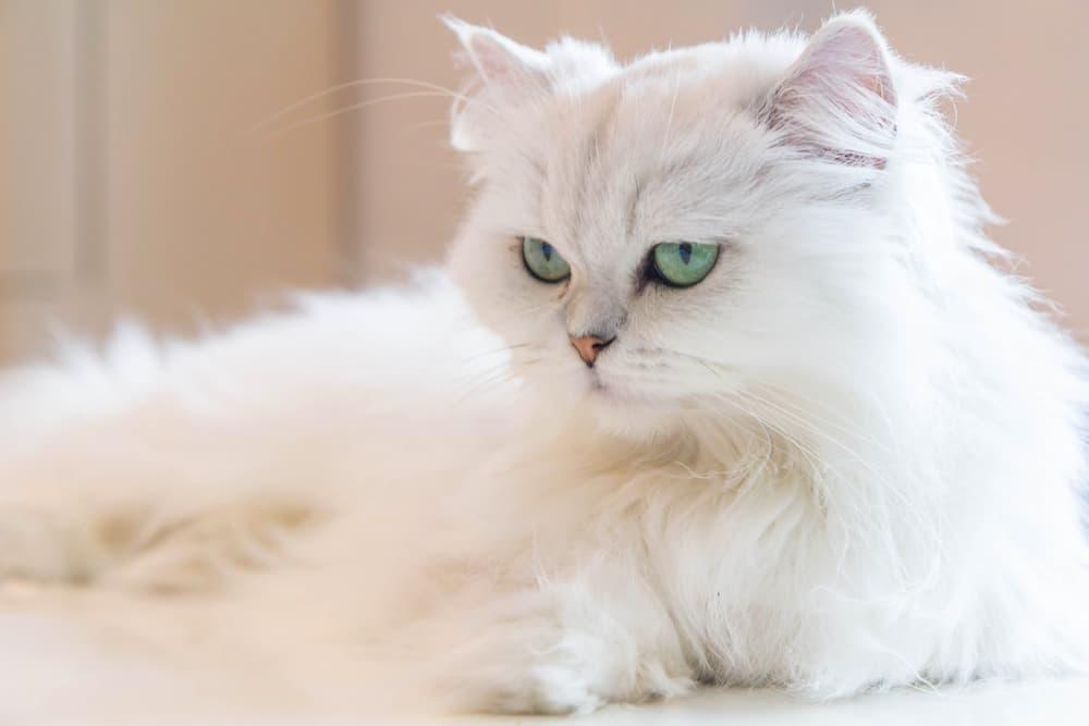 Green eyed Persian cat