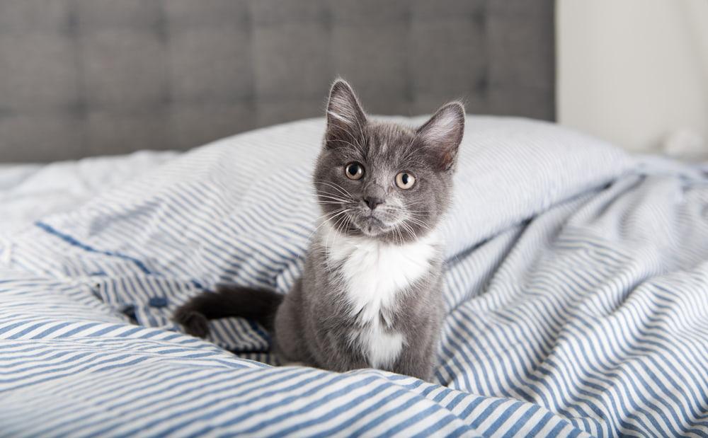 Male grey kitten on bed