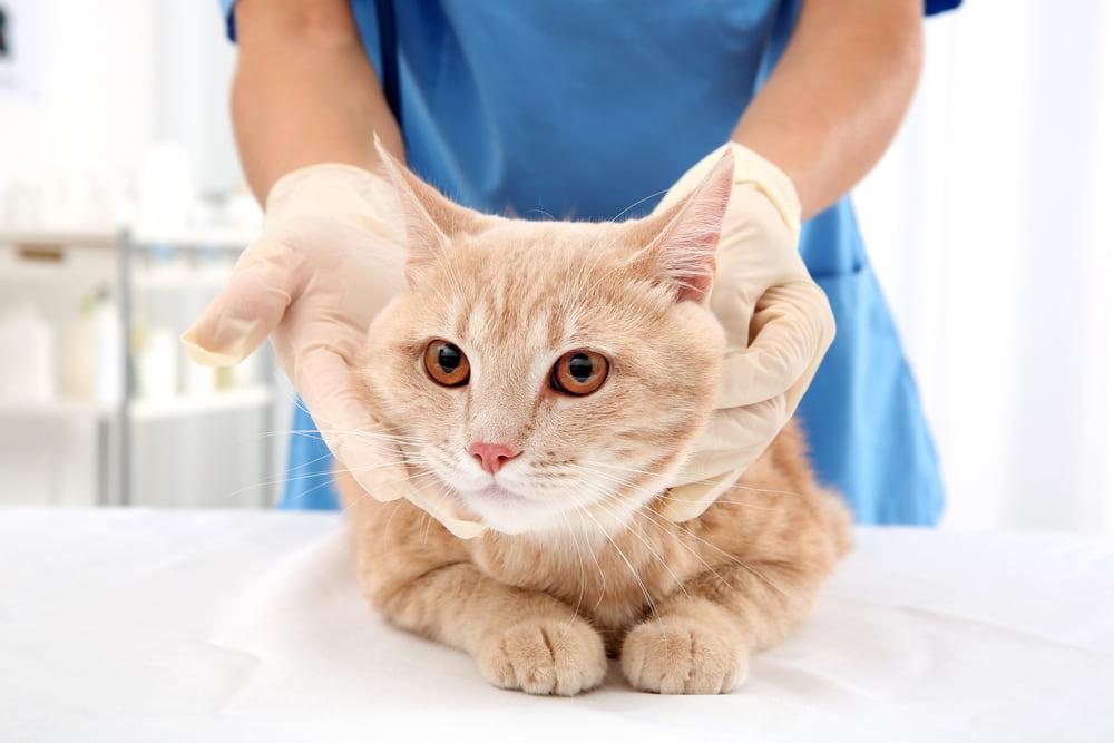 Veterinarian feeling cat lymph nodes