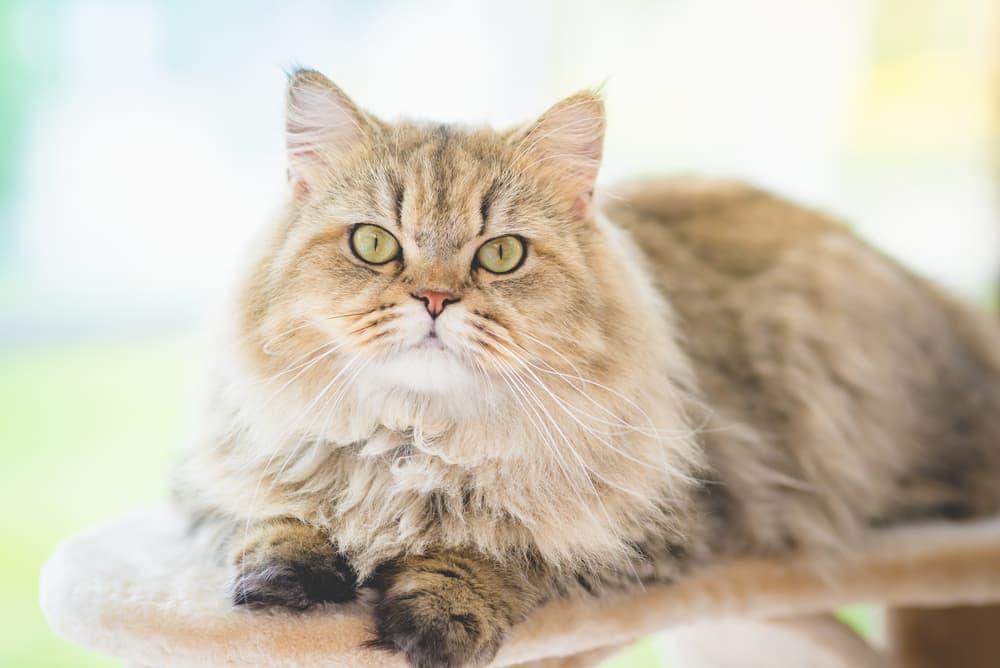 Persian cat looking at camera