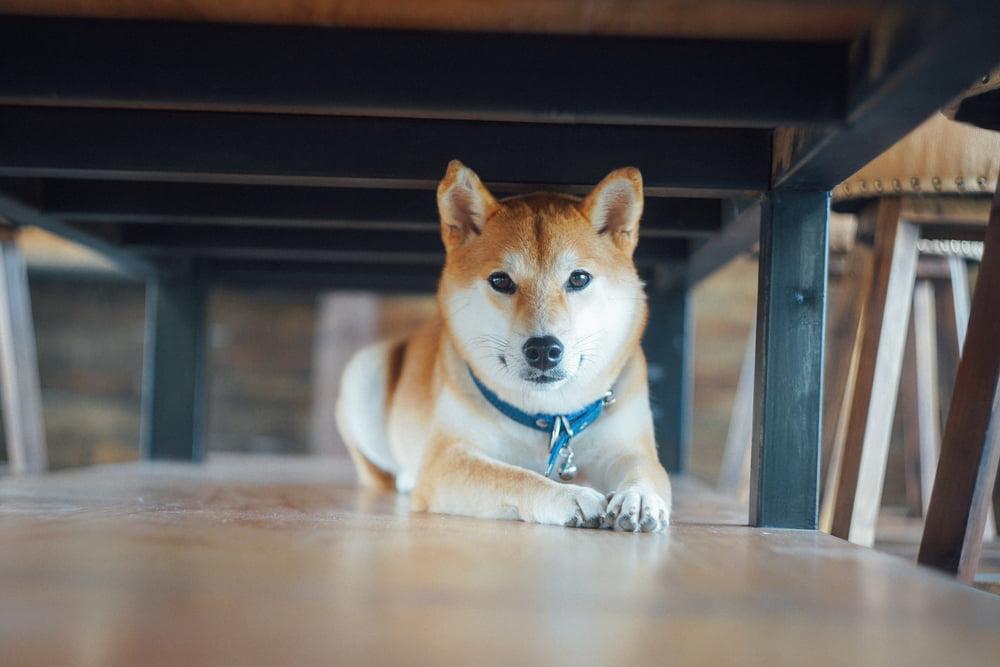 46 Japanese Dog Names for Kawaii Pups