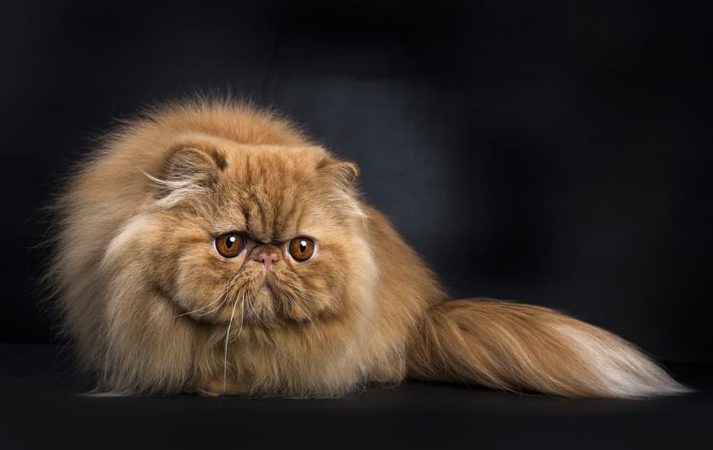 Tan Persian cat on black background