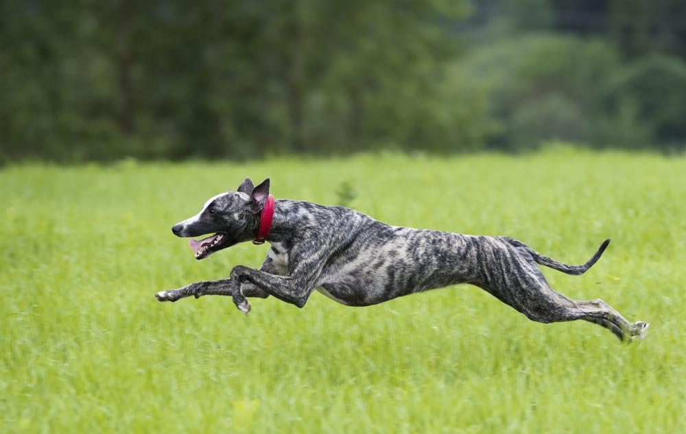 Greyhound running in field