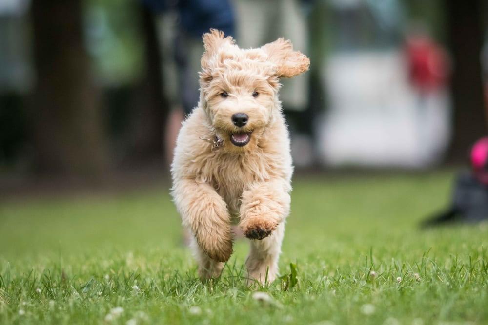 Labradoodle puppy running in park