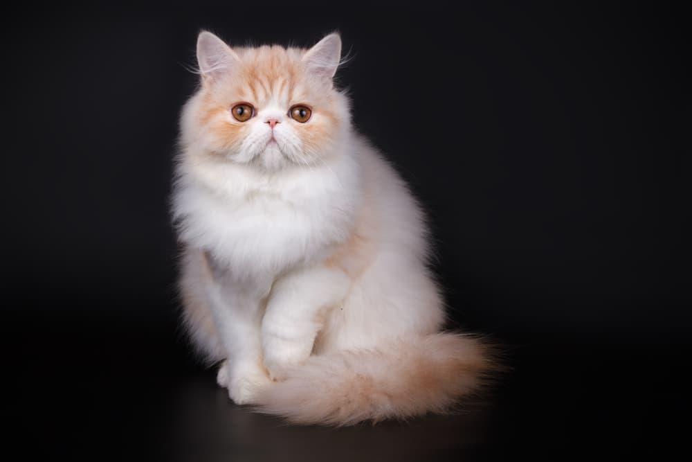 Studio portrait of Persian cat