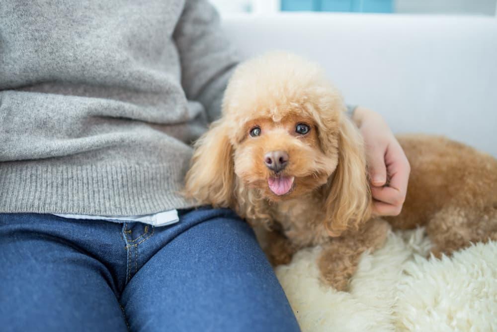 Senior dog on sofa