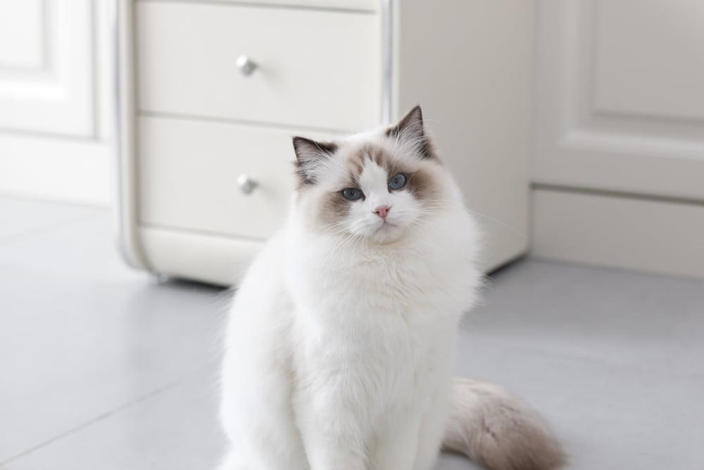 Ragdoll cat at home