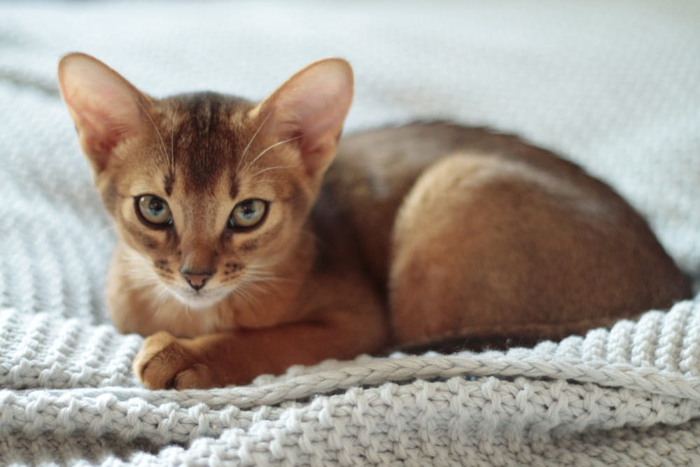 Abyssinian cat on blanket