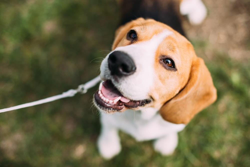 Smiling Beagle on walk