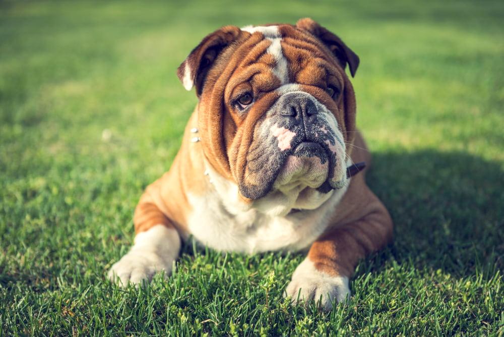 English Bulldog outside in grass