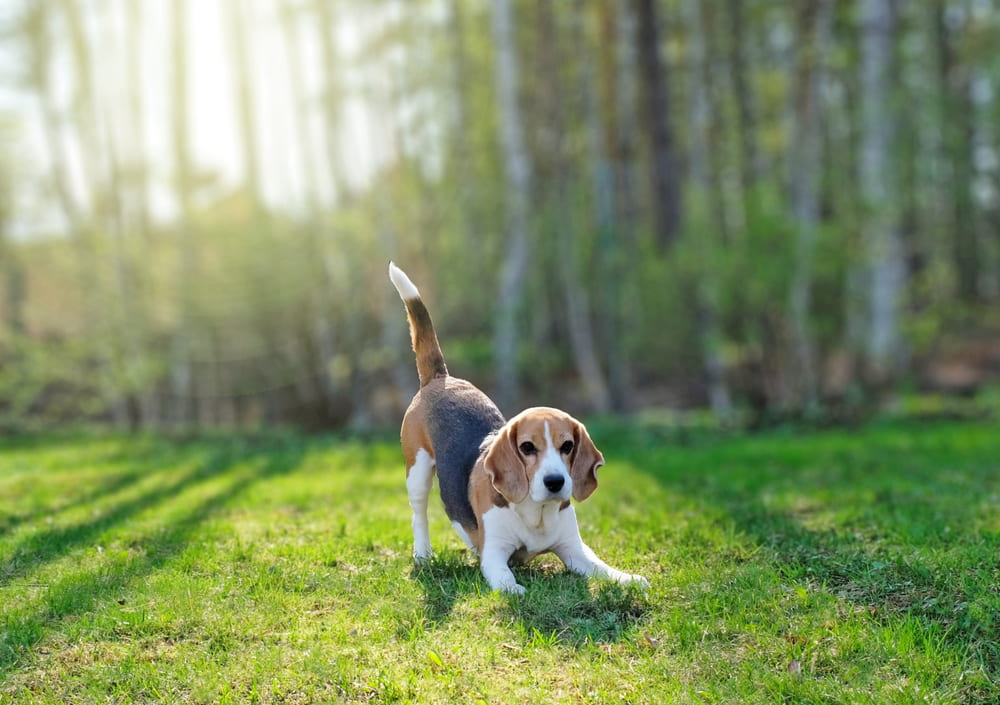 Outdoor Beagle picture