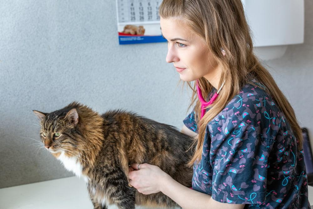 Norwegian Forest Cat at vet