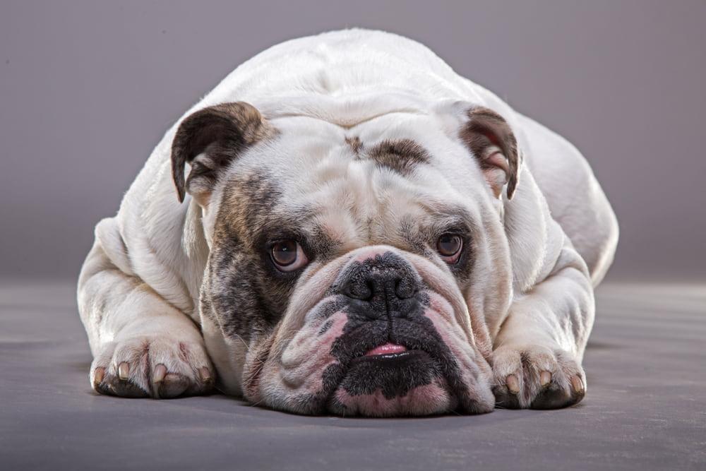 Tired Bulldog lying down