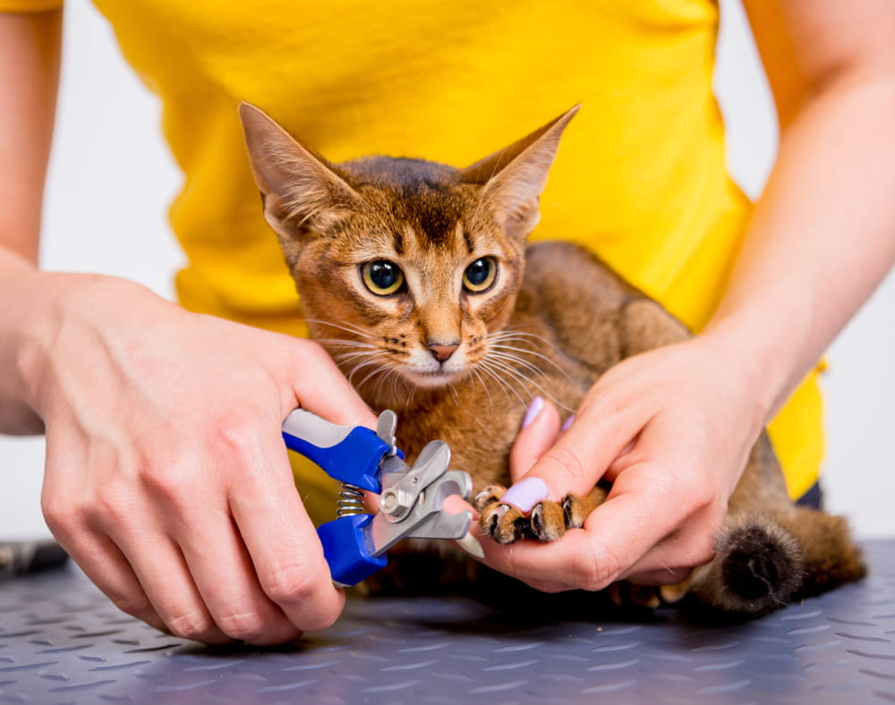 Woman cutting Abyssinian cat's nails