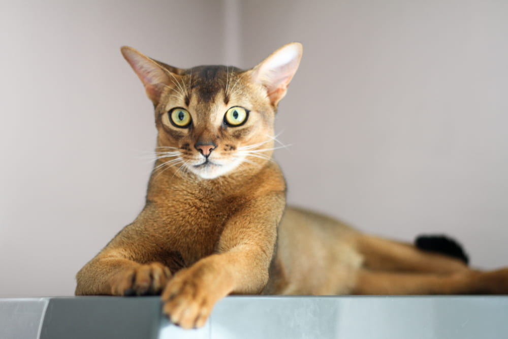 Strong Abyssinian cat