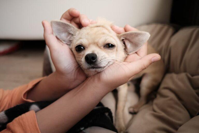Woman petting Chihuahua
