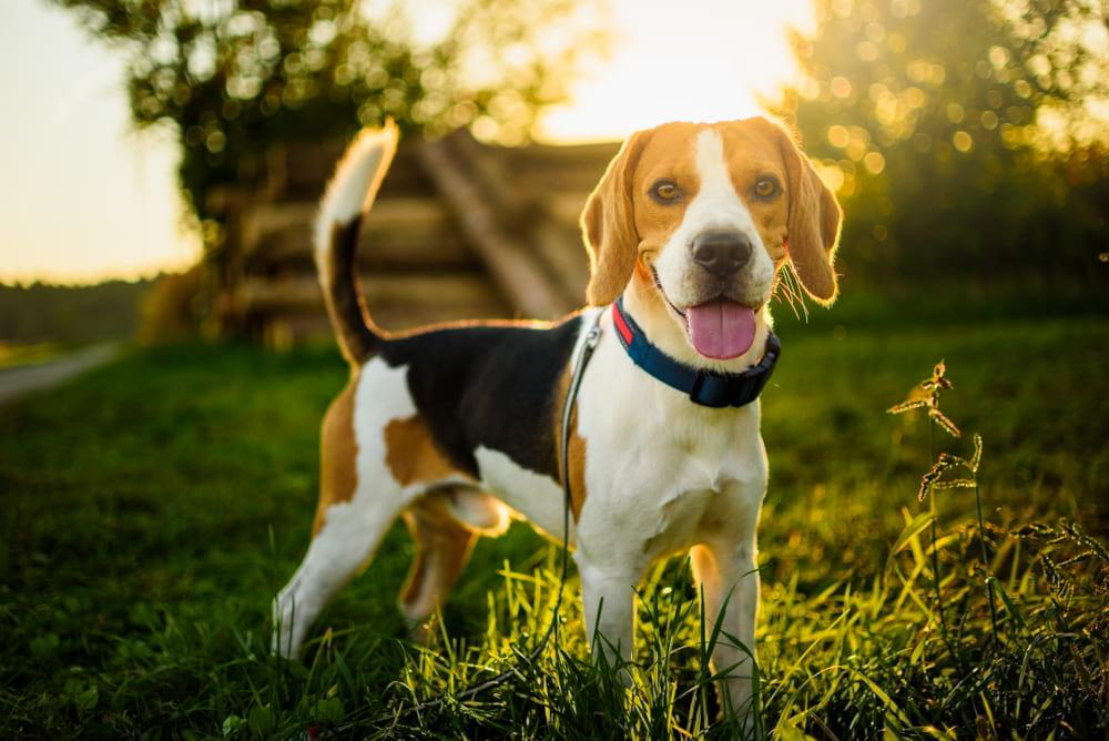 Beagle in backyard