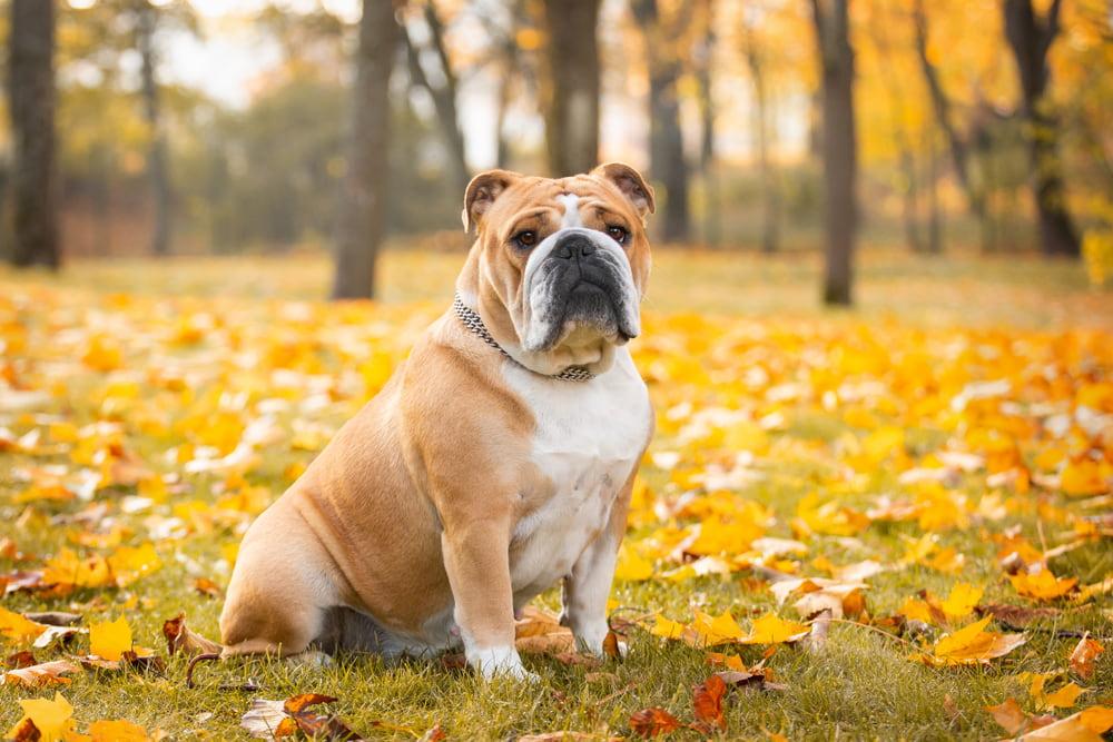 Bulldog in autumn woods