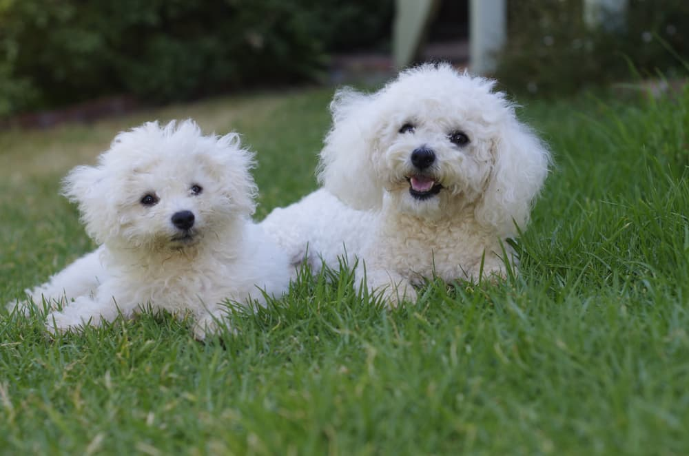 Two Bichon dogs in grass