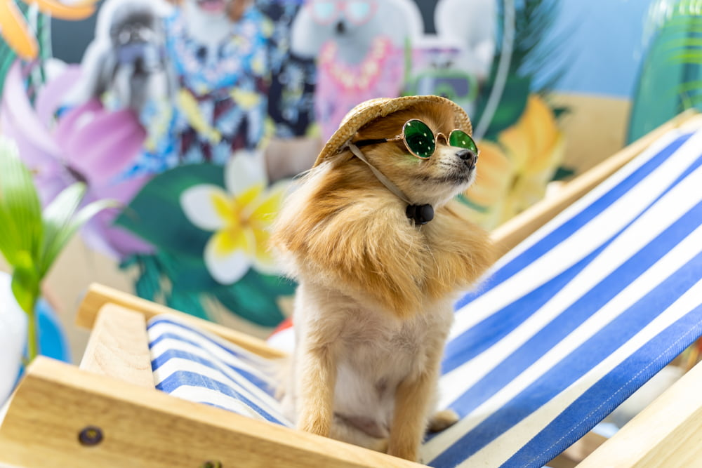 Chihuahua in lounge chair