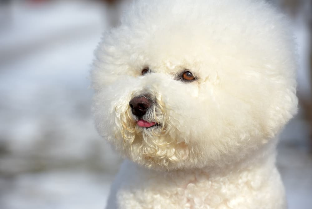 Bichon Frise in snow