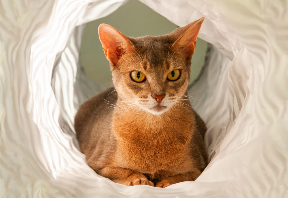 Abyssinian cat in toy tunnel