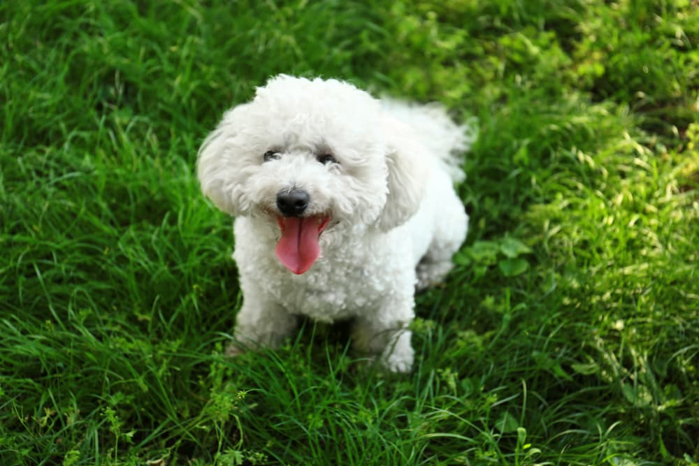 Bichon with tongue out