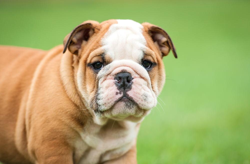 Bulldog puppy outside