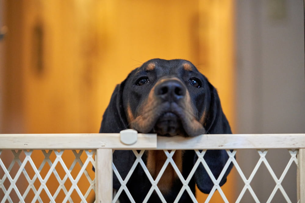 Dog looking over gate
