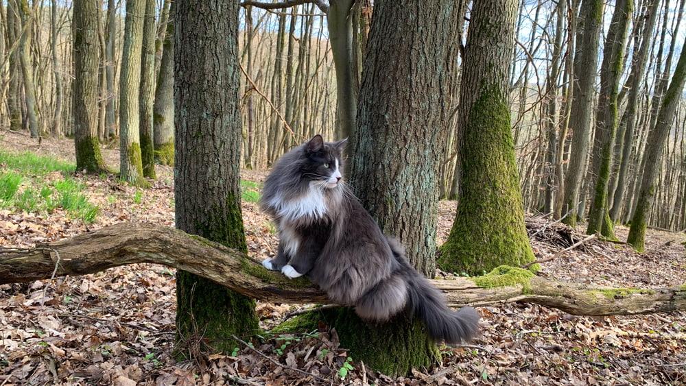 Norwegian Forest Cat on log