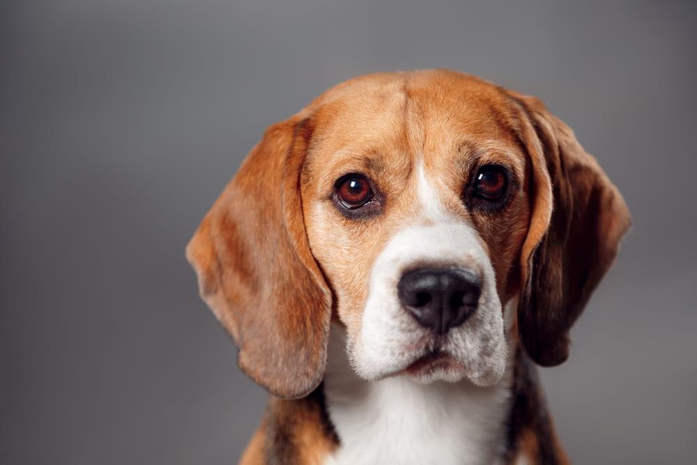Beagle portrait