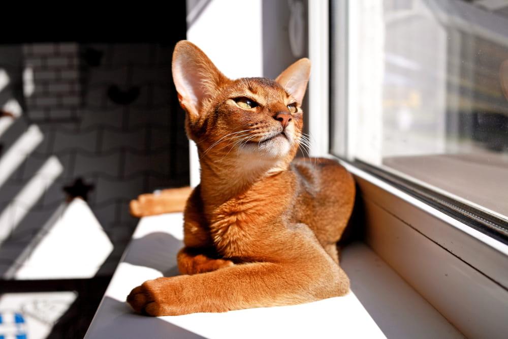 Abyssinian cat on window sill