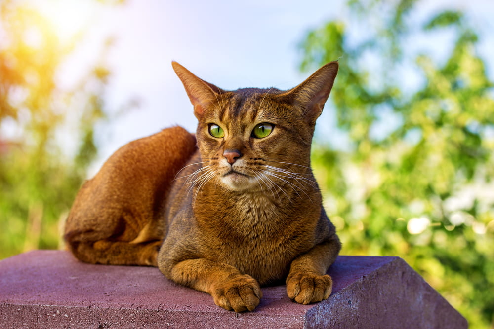 Abyssinian cat sitting outside