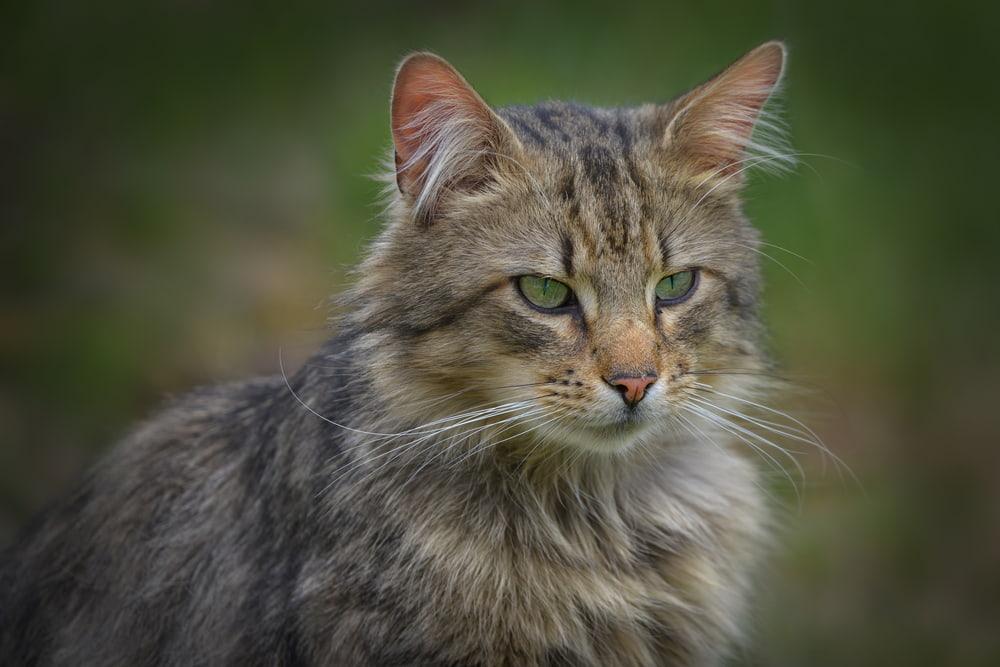 Outdoor Norwegian Forest Cat