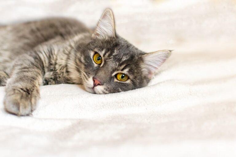 Cat suffering from calicivirus