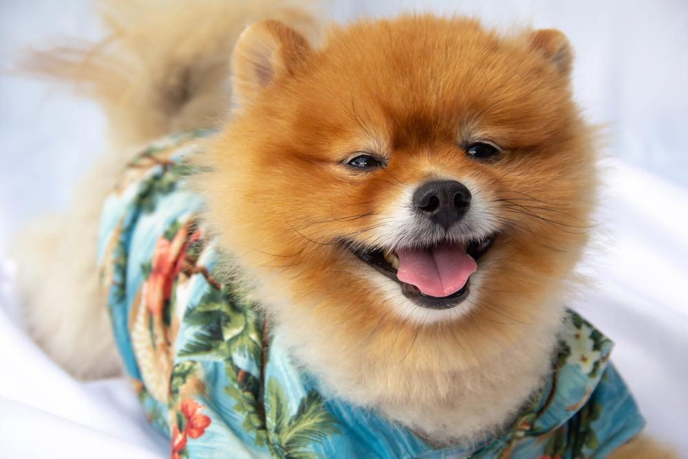 Dog in Hawaiian shirt