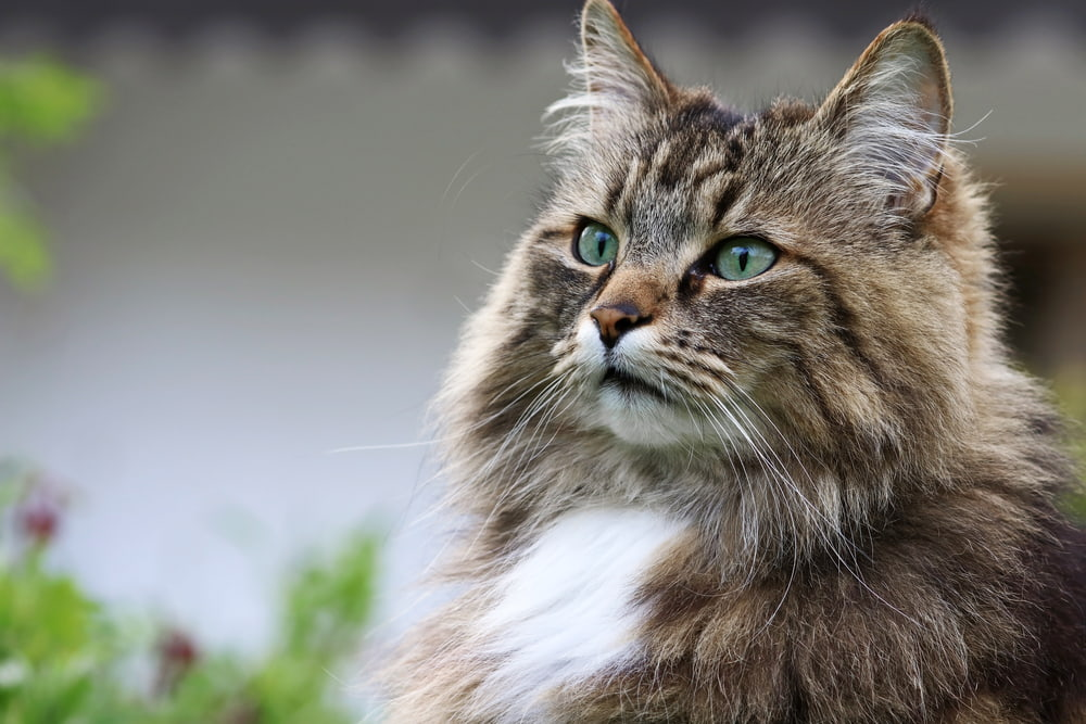 Closeup of Norwegian Forest Cat