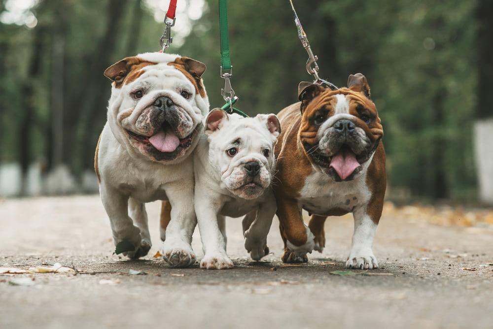 Three Bulldogs walking on leashes