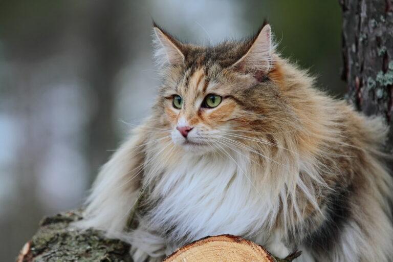 Norwegian Forest Cat in woods