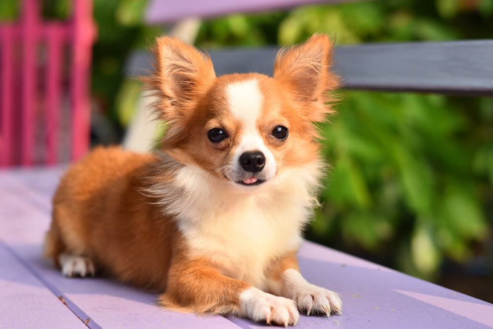 Chihuahua on bench