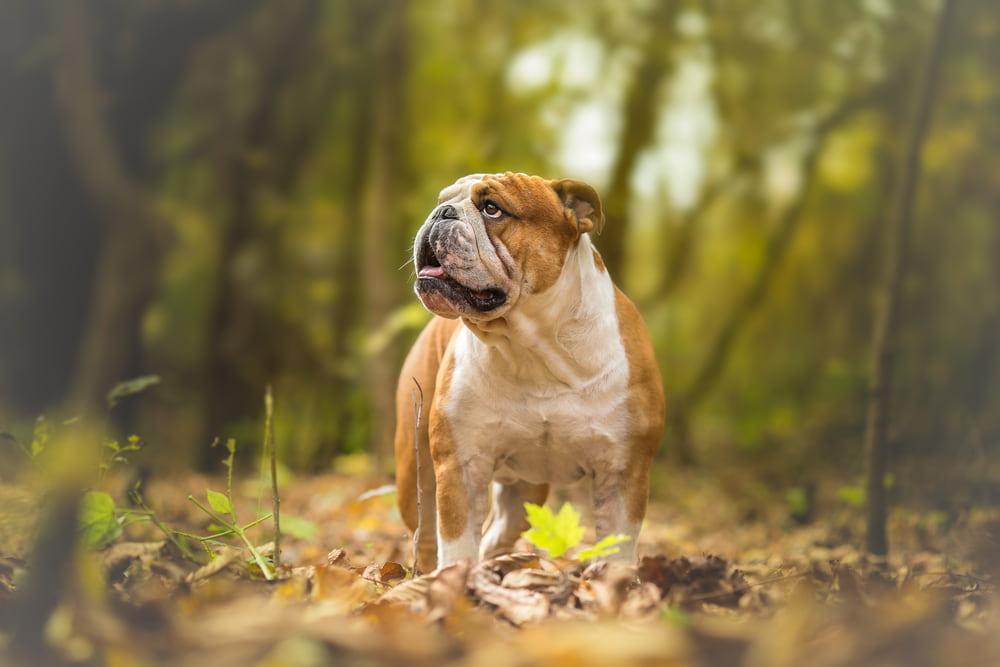 Bulldog in woods