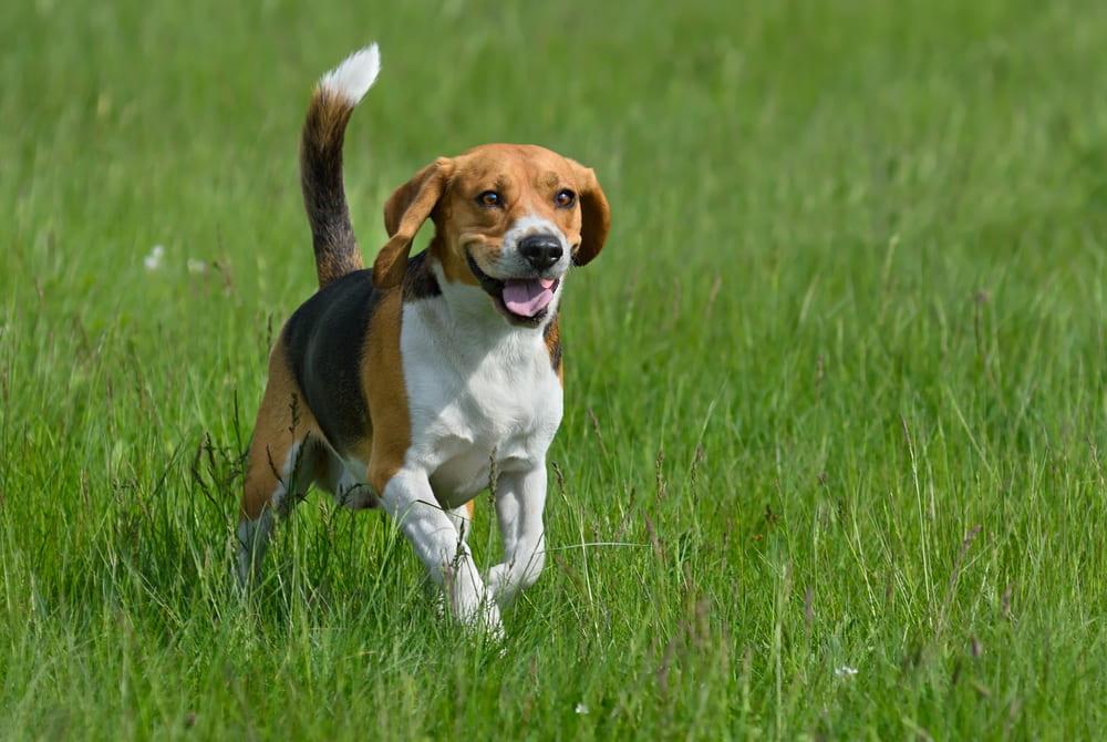 Beagle running in grass