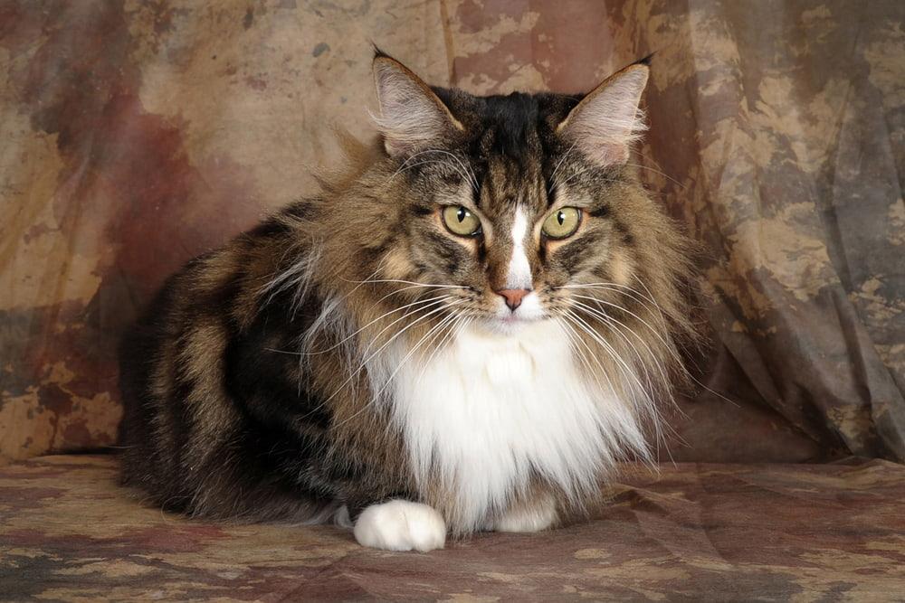 Portrait of Norwegian Forest Cat