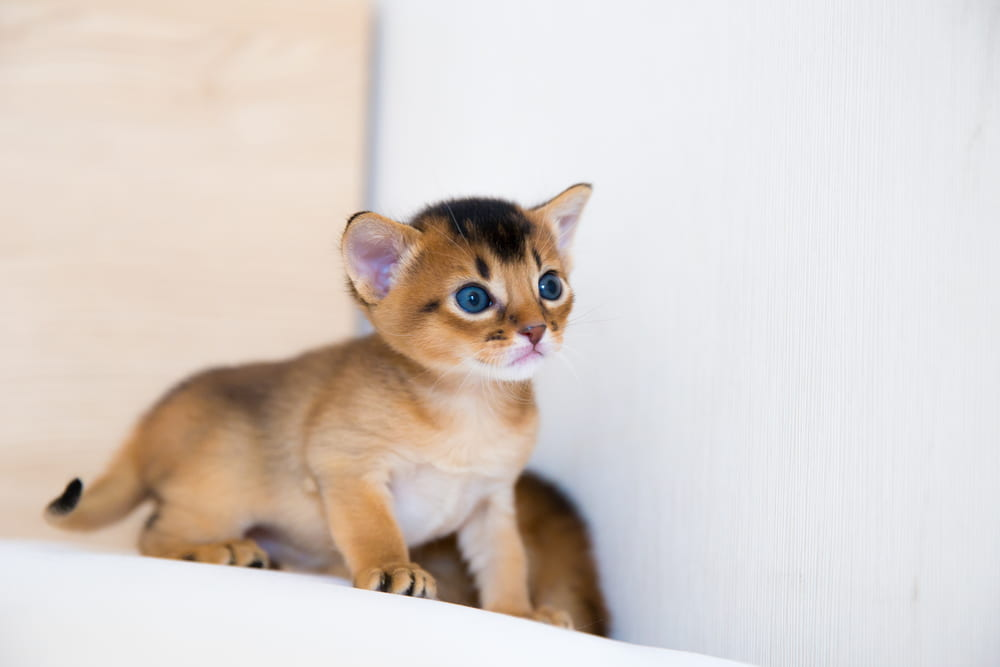 Tiny Abyssinian kitten